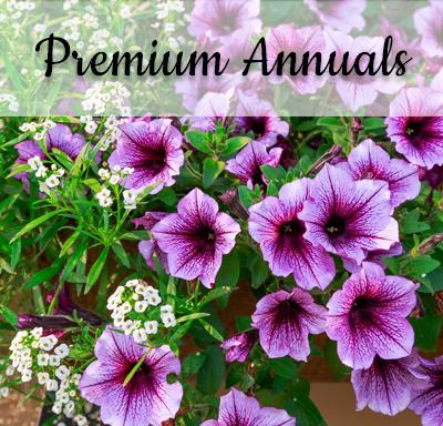 Premium Annuals