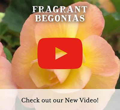 Fragrant Begonias Video