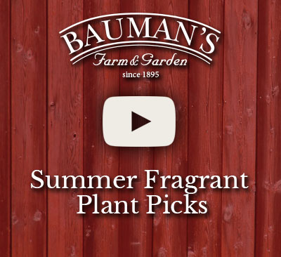Summer Fragrant Plant Picks Video