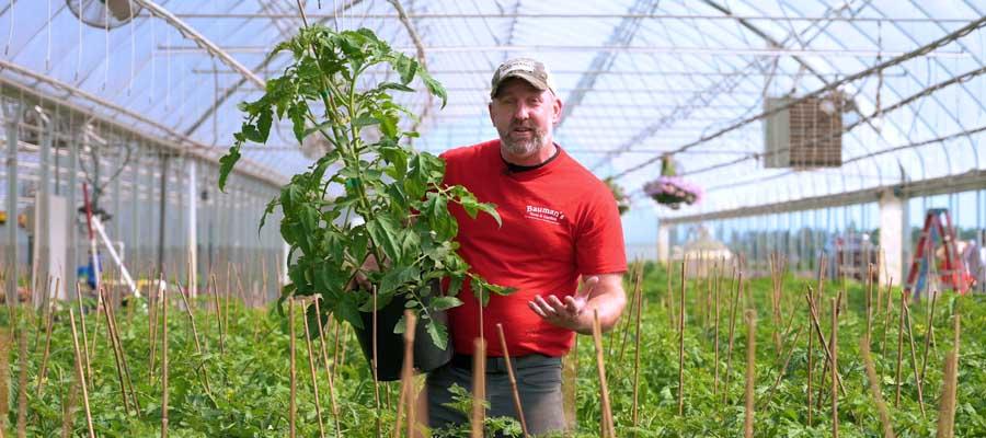 Best Tomato Plants & Varieties at Baumans Farm & Garden