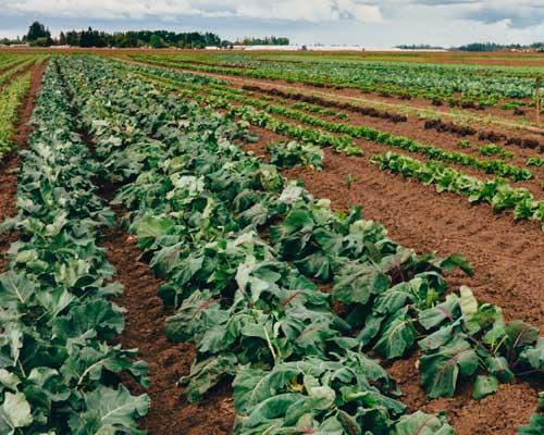 Spinach Fields