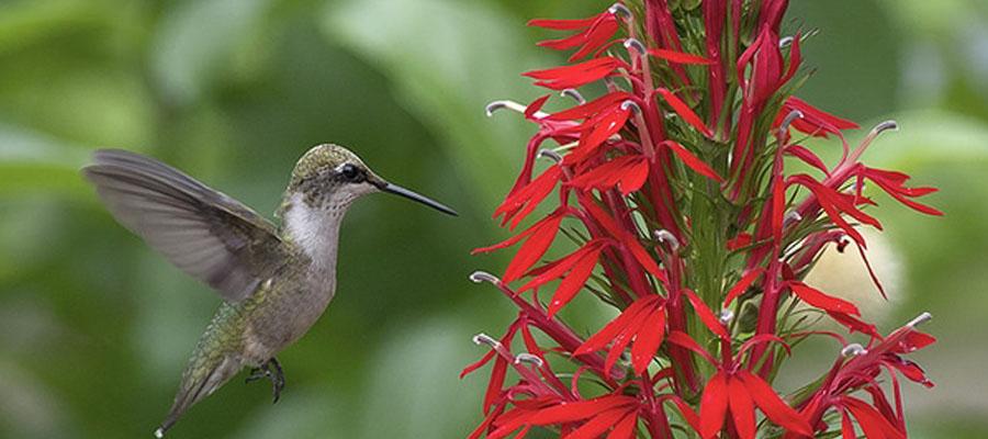 Lebelia Perennial - Perfect Hummingbird Attracter