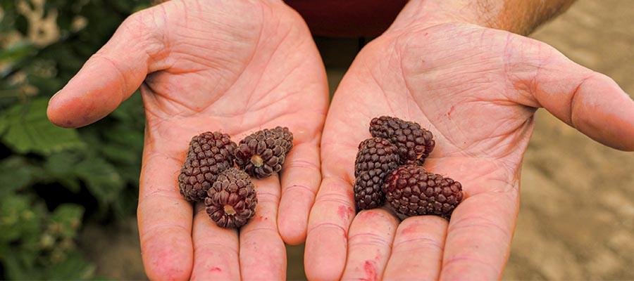 Loganberries & Tayberries - Unique & Delicious Berries