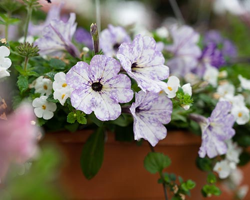 Healthy Hanging Baskets