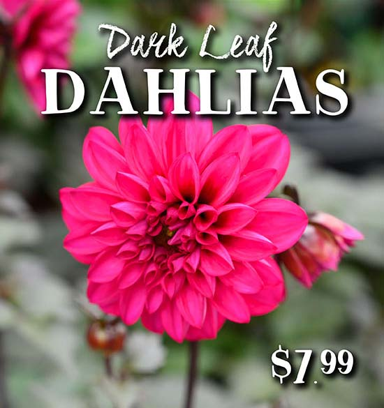 Dark Leaf Dahlias